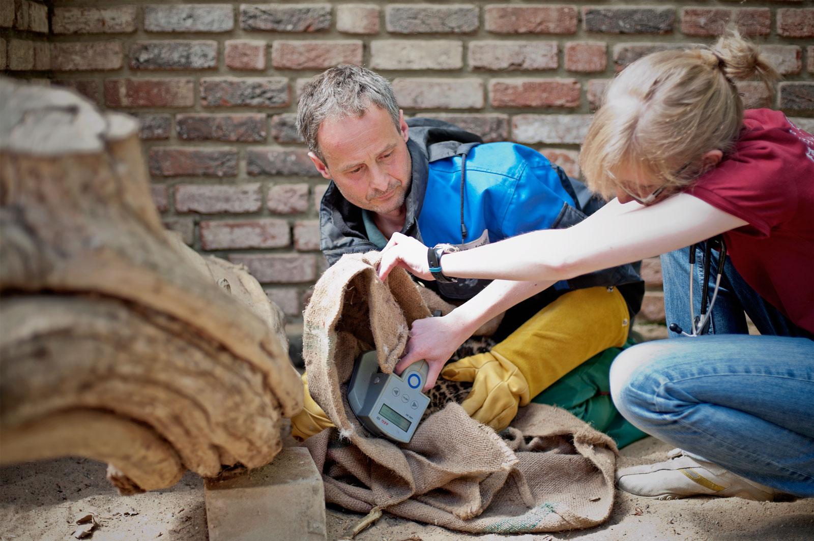 8 Pfoten, 6 Hände und 2 Spritzen - Zoo Krefeld – Die Impfung der Jaguarbabies