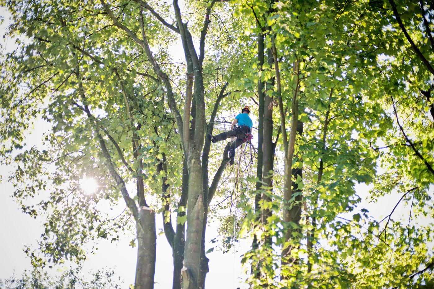 Kletterausrüstung Baum Fällen : Bis in die krone: ein fällbeispiel baumpfleger carsten breker kr one