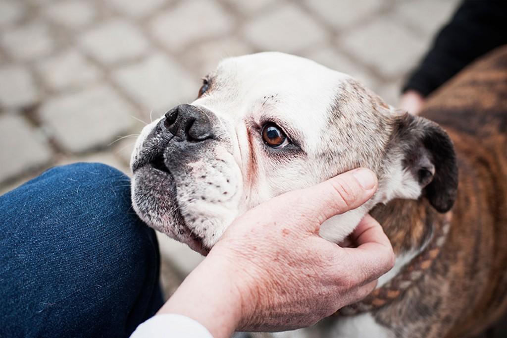 Hund, Bulldogge